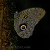 Owl Butterfly A (Caligo sp.1)
