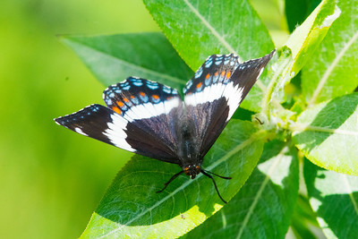 White Admiral Butterfly