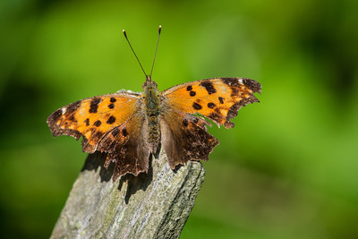 Eastern Comma or Question Mark Butterfly
