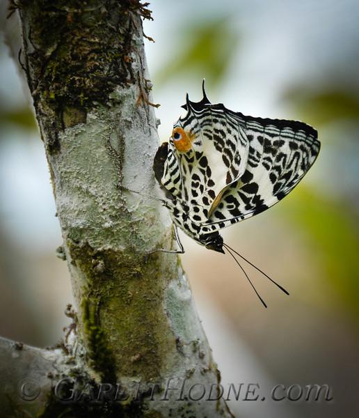Deucalion Beauty  (Baeotus deucalion)