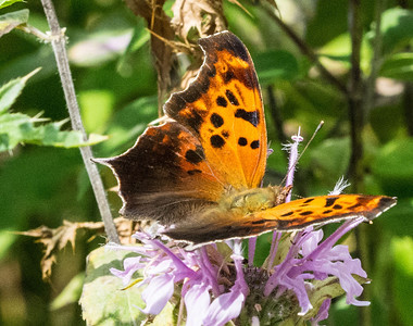 Question Mark or Eastern Comma Butterfly
