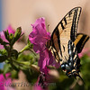 Two-tailed Swallowtail (Papilio multicaudata) < Papilionidae