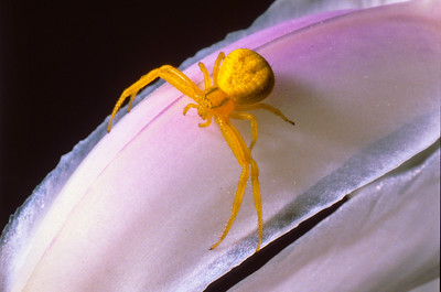 goldenrod spider.  3666 Bumann road, Olivenhain, California.