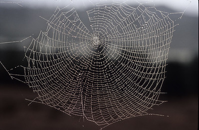 In late fall conditions are perfect for dewey spider webs.  Bumann Ranch, Olivenhain, California.