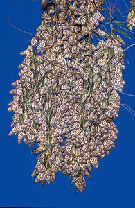 Monarch butterfly cluster with wings folded in normal sleep position.  Morro Bay state park, Morro Bay, California.