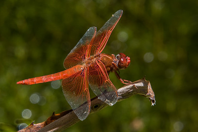 Dragonfly.  San Diego Botanic Garden.  Encinitas Ca.  July 2017