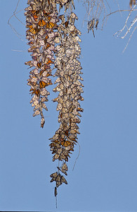 Monarch butterfly cluster.  Morro Bay state park, Morro Bay, California.