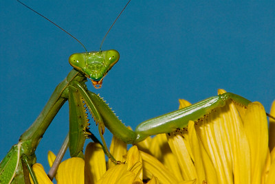 Praying mantis.  They look directly into the lens.   Bumann Ranch, Olivenhain, California.