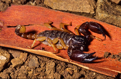 Scorpion.  This costal scorpion is not venomous to humans and is a benefit to any gardener.   Bumann Ranch, Olivenhain, California.