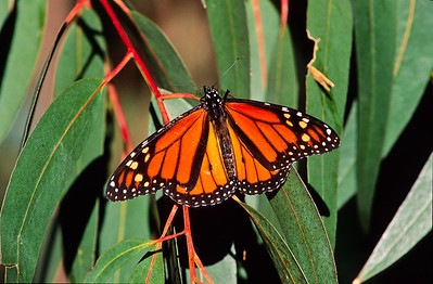 Monarch butterfly.  Morro Bay state park, Morro Bay, California.