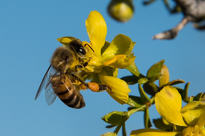 Honey bee on creosote bush.  Organ Pipe Catus NM, Arizona.