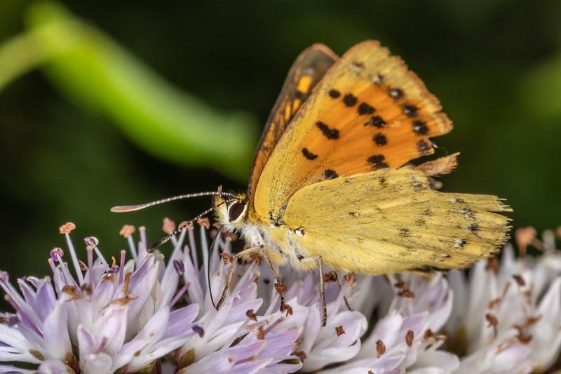 Copper butterfly (Lycaena spp.). Sinclair Wetlands, Dunedin.