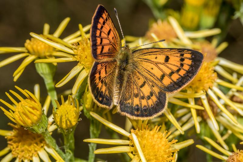 Male common copper / pepe para riki (Lycaena salustius) on ragwort (Jacobaea vulgaris). Raspberry Flat, Matukituki River West Branch.