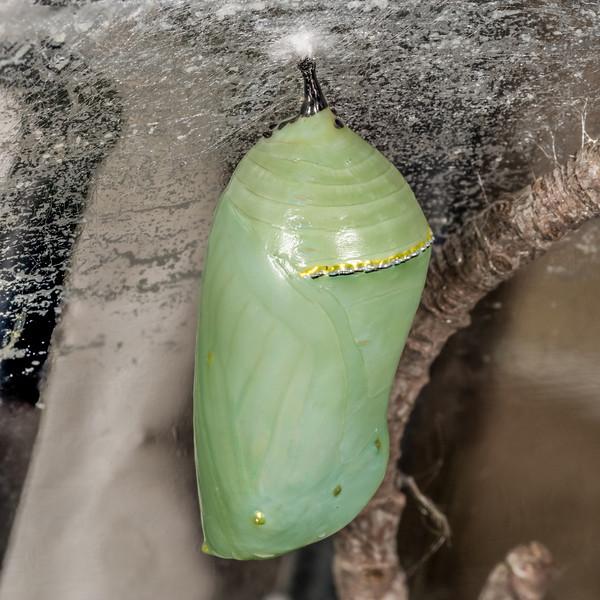 Monarch butterfly (Danaus plexippus) chrysalis. Maple Grove, Minnesota