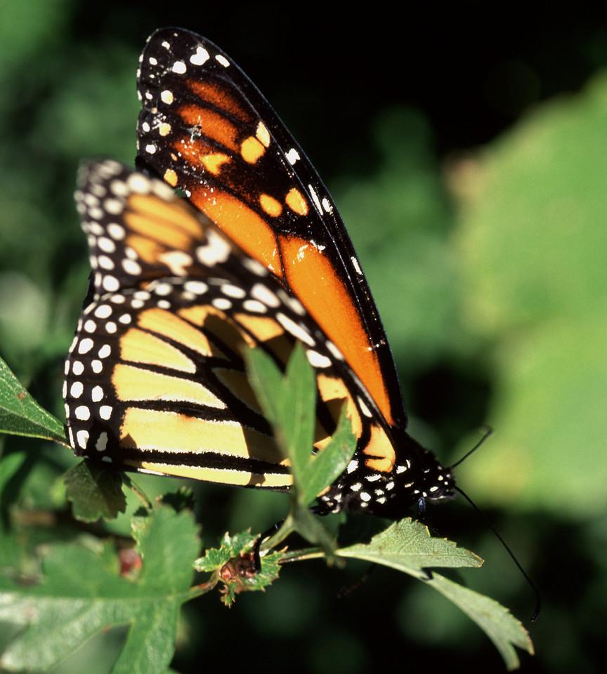 Monarch butterfly (Danaus plexippus). Opoho, Dunedin.