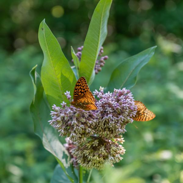 Great spangled fritillary (Speyeria cybele) on common milkweed (Asclepias syriaca). Wild River State Park, MN, USA.