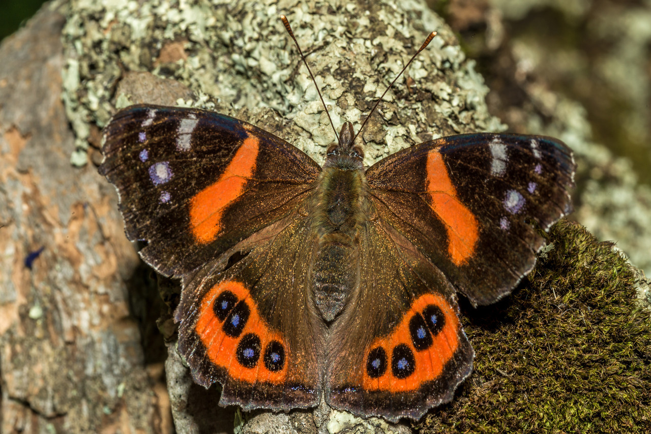 Red admiral butterfly / kahukura (Vanessa gonerilla). Mount Charles, Otago Peninsula