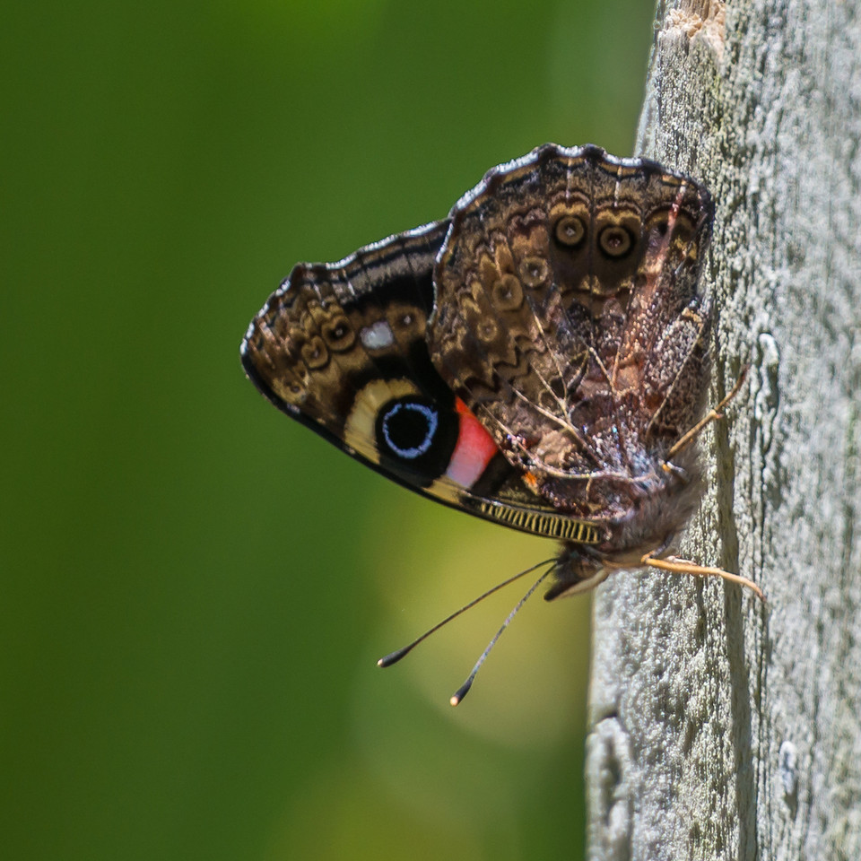 Red admiral butterfly / kahukura (Vanessa gonerilla). Lake Ellesmere, Christchurch