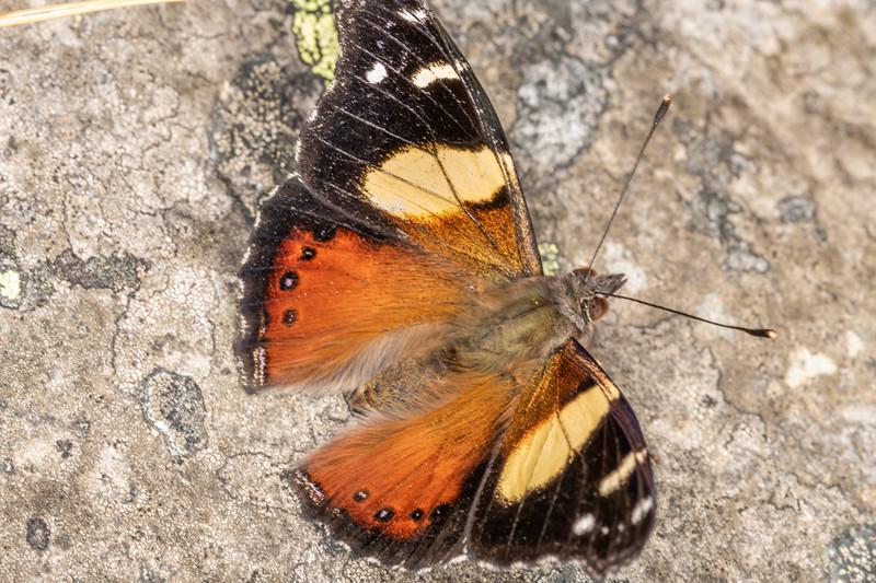 Yellow admiral (Vanessa itea). Mount Watkin / Hikaroroa, Karitane.