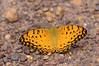 Phalanta phalantha (Drury, 1773), Common Leopard, Spotted Rustic. Oolloo crossing, Douglas/Daly conservation area, NT, Australia – the Wet Season