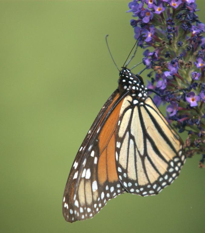 Monarch, August 2008