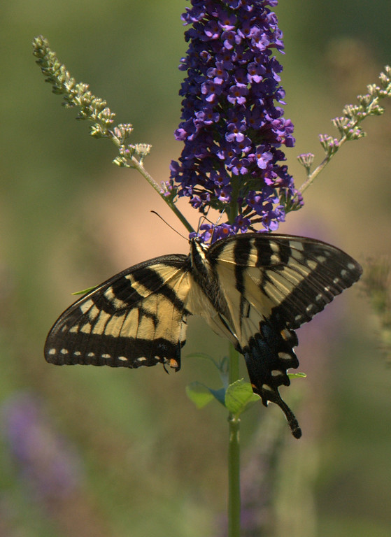Tiger Swallowtail female, August 2008
