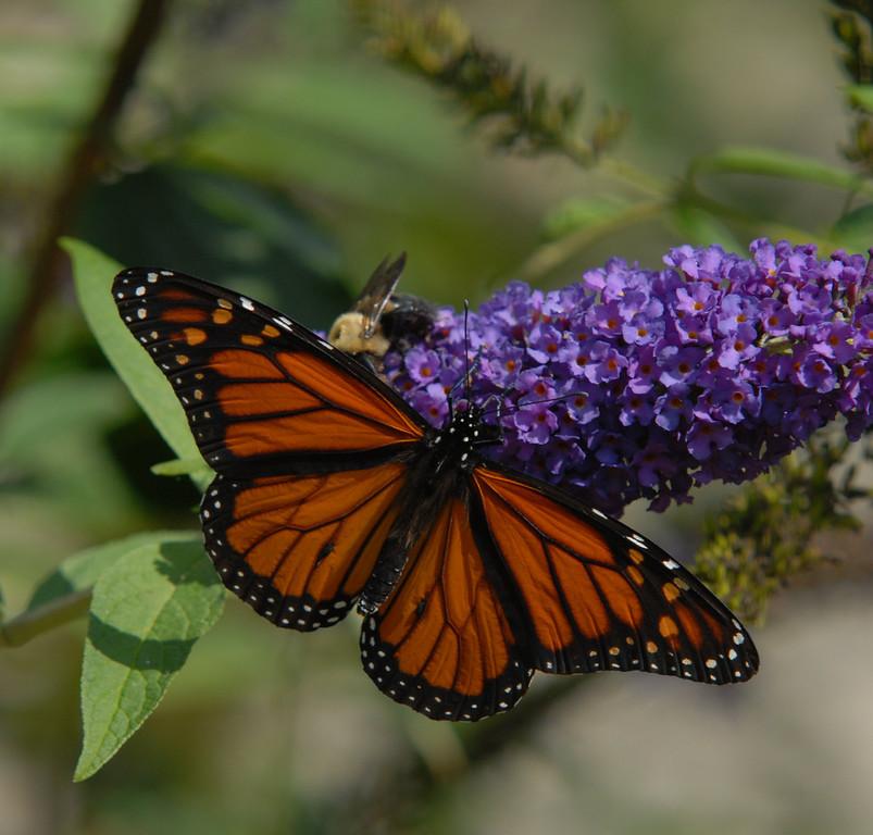 Monarch, October 2008