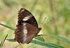 Euploea core, Common Australian Crow Butterfly, Oleander Crow. Kakadu National Park, NT, Australia