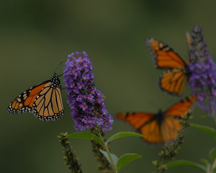 Monarchs, October 2008