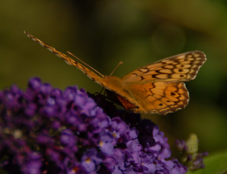 Variegated Fritillary, October 2008