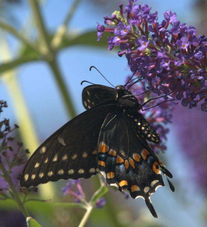 Spicebush Swallowtail female, August 2008