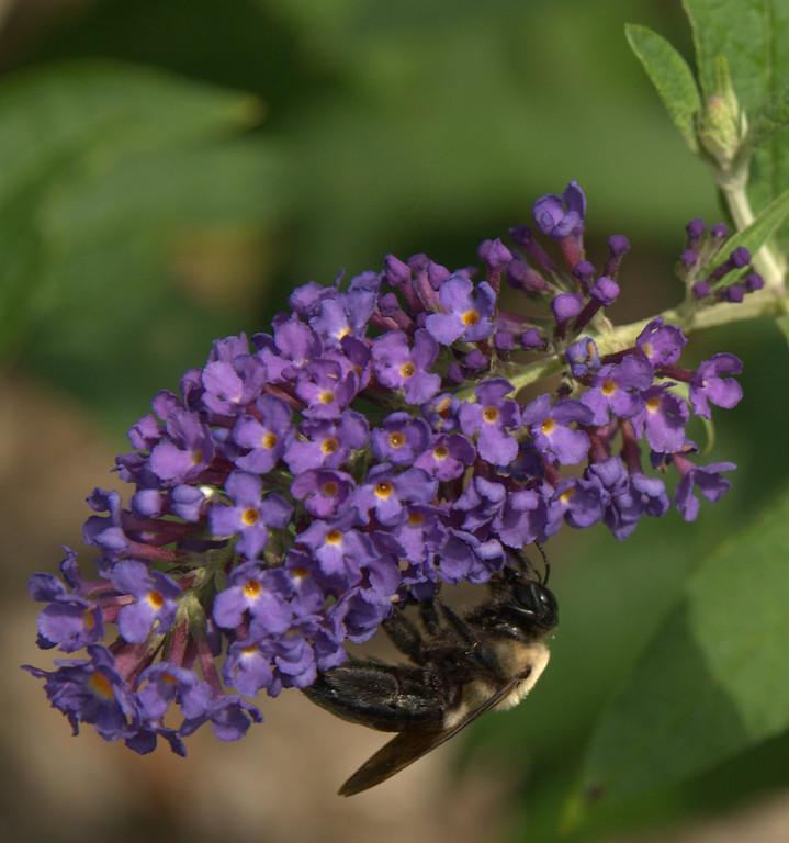 Bumblebee, August 2008