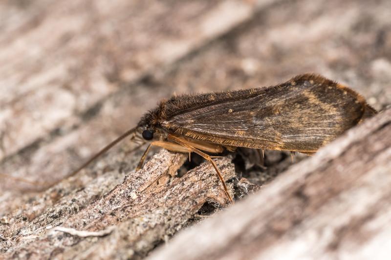 Caddisfly (Edpercivalia maxima). Nina Valley, Lewis Pass.
