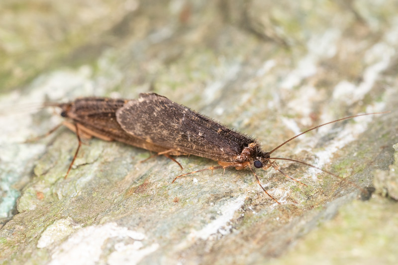 Caddisfly (Edpercivalia maxima). Lake Chalice, Richmond Forest.