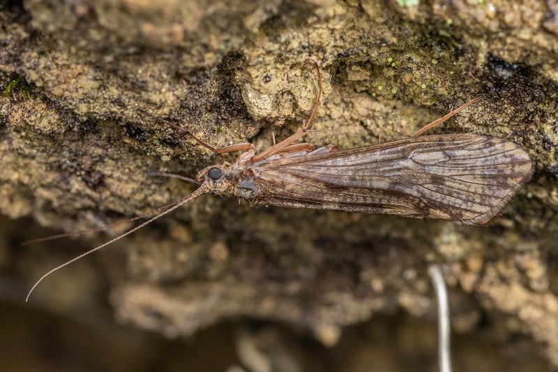 Caddisfly (Hydropsyche sp.). Nikau Creek, Wainuiomata, Wellington.