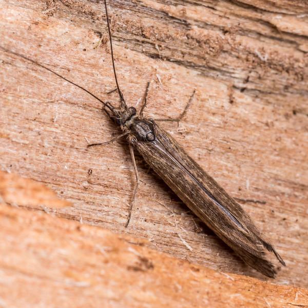Long-horned caddisfly (Family Leptoceridae). Junction Flat, Matukituki River East Branch, Mount Aspiring National Park.