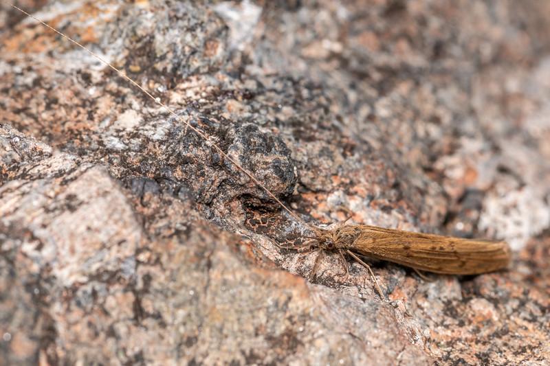 Caddisfly (Oecetis unicolor). Skippers Range, Fiordland National Park.