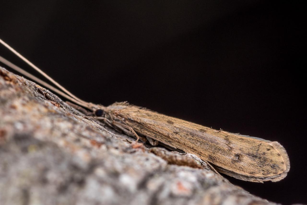 Long-horned caddisfly (Oecetis unicolor). Butchers Dam, Alexandra, Central Otago.