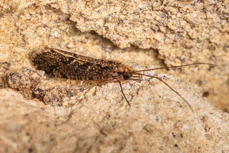 Fingernet caddisfly (Hydrobiosella mixta). Mangahopue Cave, Waitomo.