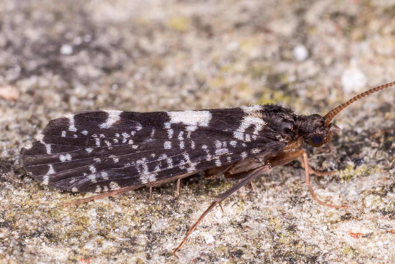 A tube maker caddisfly of the genus Polyplectropus. Gouland Downs Hut, Heaphy Track, Kahurangi National Park.