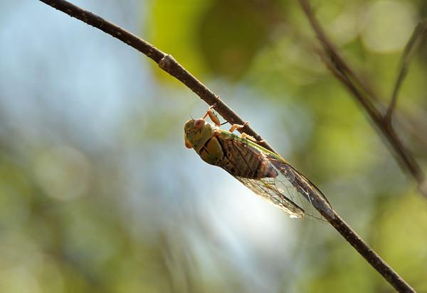 Cicadas, Cicadellidae and other Homoptera
