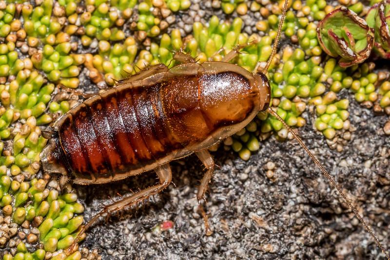 Native wingless cockroach (Celatoblatta anisoptera) at 1650m of elevation on Mount Wakefield, Aoraki / Mount Cook National Park.