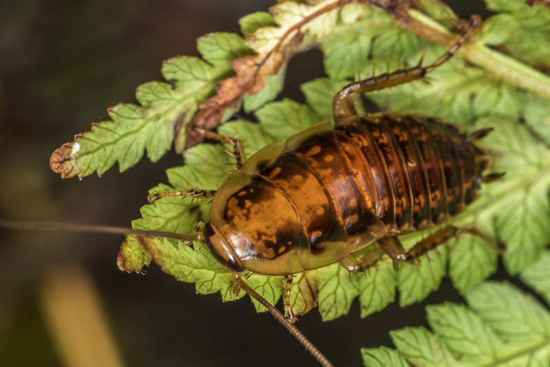 Chatham Island cockroach (Celatoblatta brunni). Green Point, Chatham Island.
