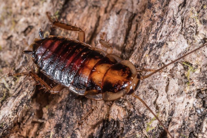 Chatham Island cockroach (Celatoblatta brunni). Rangaika Scenic Reserve, Chatham Island.