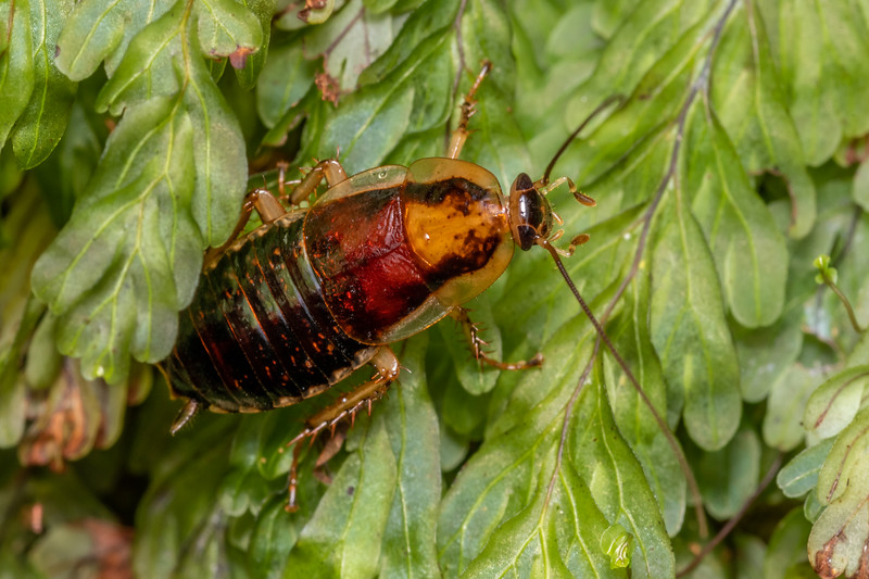 Cockroach (Celatoblatta notialis). Skippers Range, Fiordland National Park.