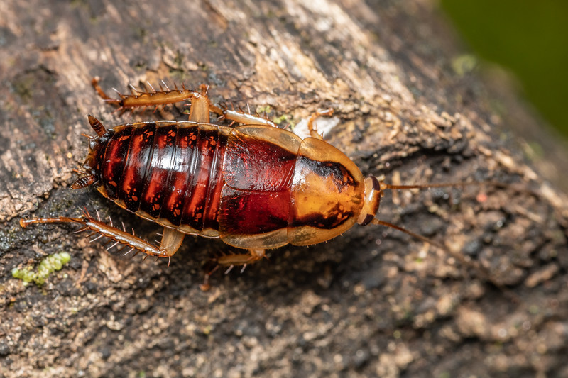 Cockroach (Celatoblatta notialis). Puysegur Point, Fiordland National Park.