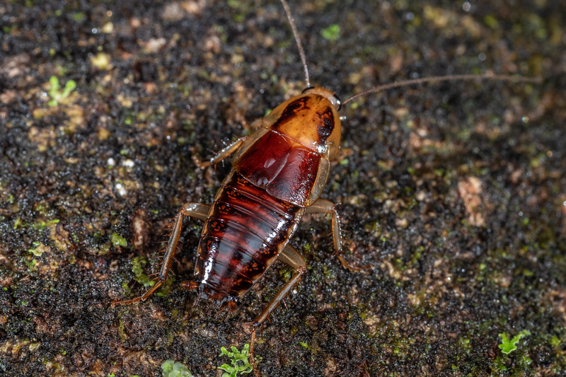 Cockroach (Celatoblatta notialis). Blue River Hut, Moeraki River, Westland.