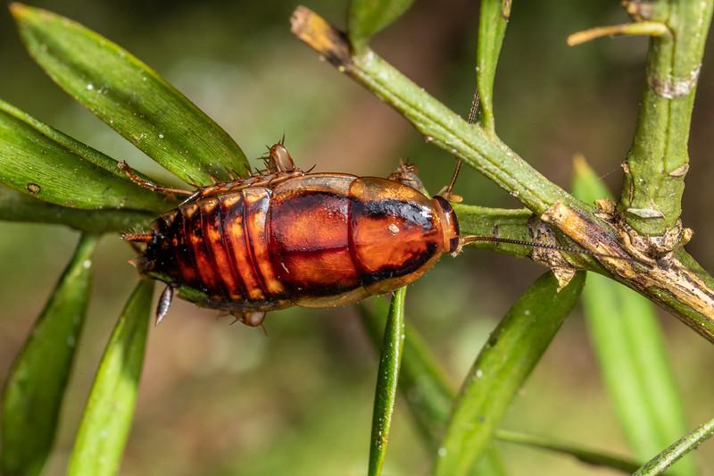 Cockroach (Celatoblatta undulivitta). Waipu Caves Track, Northland.