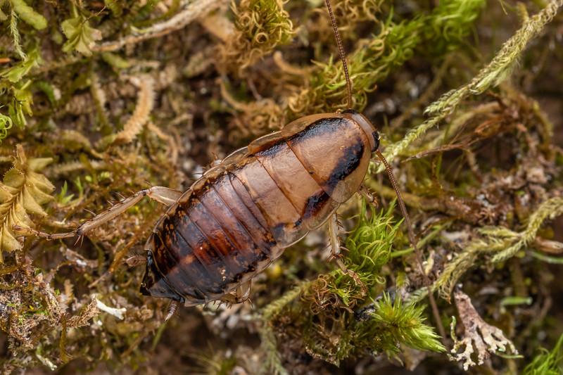 Cockroach (Celatoblatta vulgaris). Puketotara Hut, Matemateaonga Range.
