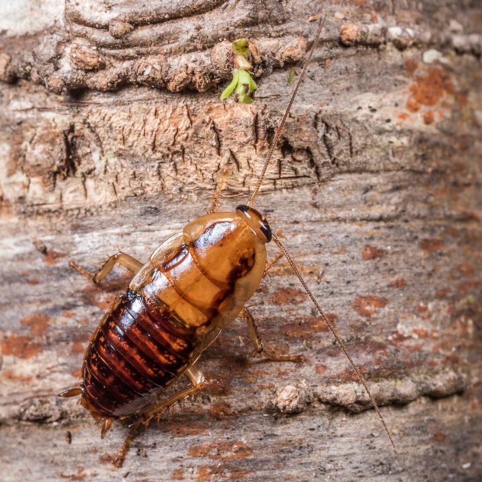 Wingless bush cockroach (Celatoblatta vulgaris). Cave Brook, Heaphy Track, Kahurangi National Park.